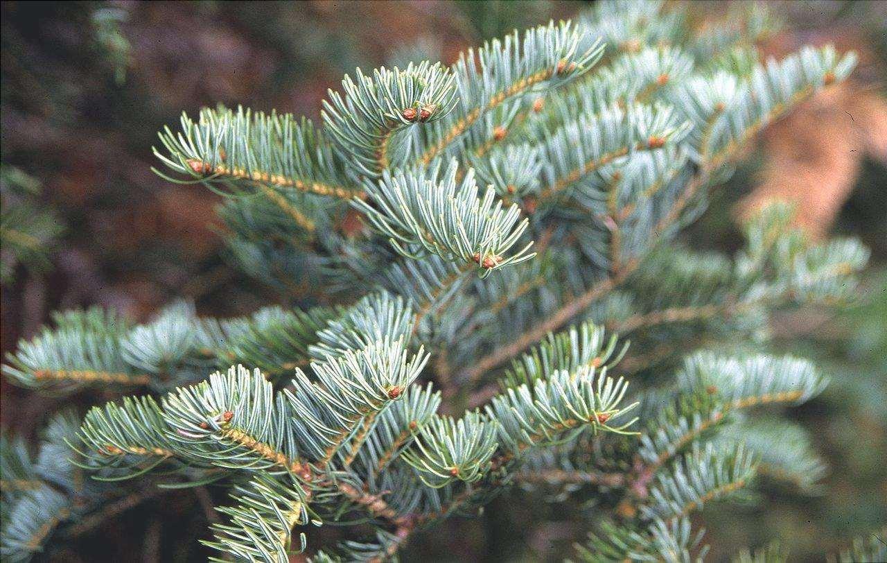Abies alba è una conifera sempreverde.