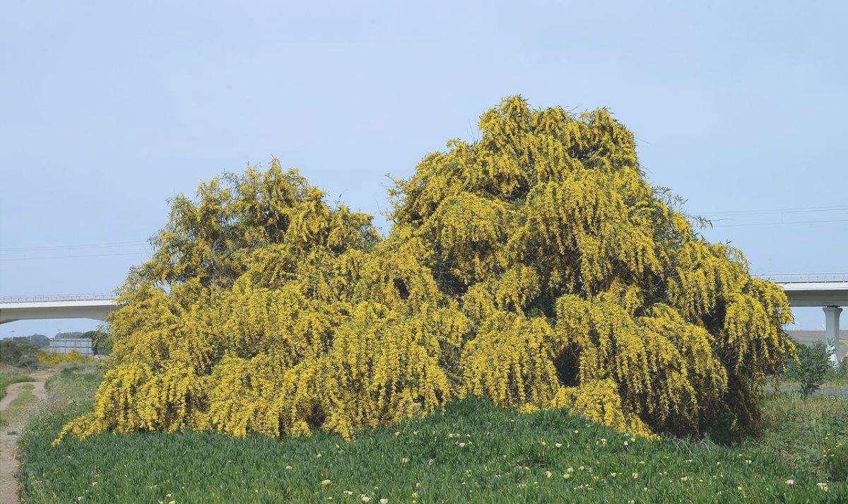 L'Acacia saligna è un albero con una corona piangente.