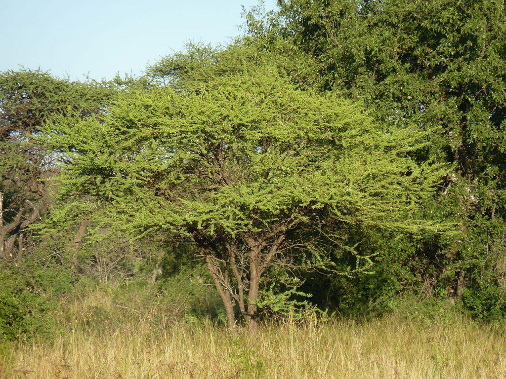 acacia tortilis en habitat
