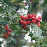 Il genere Ilex è composto da alberi e arbusti