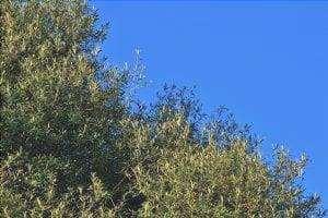 L'olivo selvatico è un albero mediterraneo.