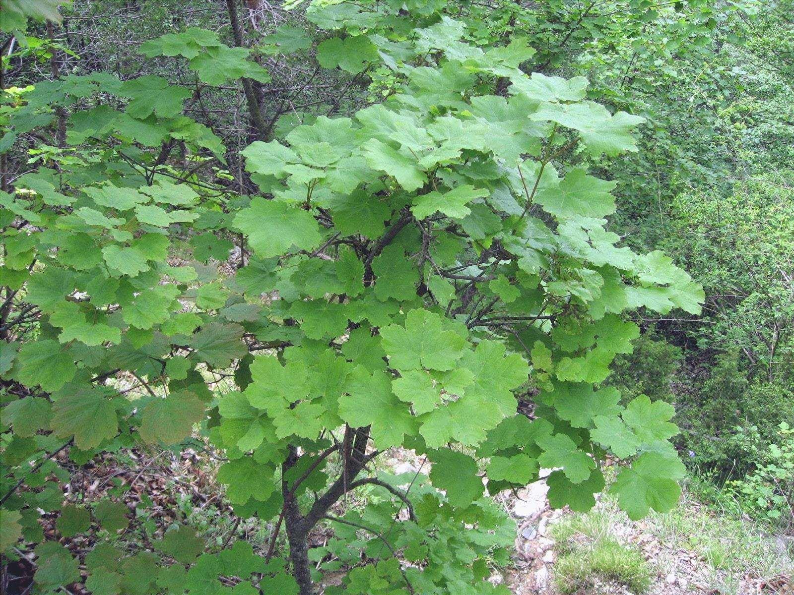 L'Acer opalus è un albero mediterraneo resistente al vento.