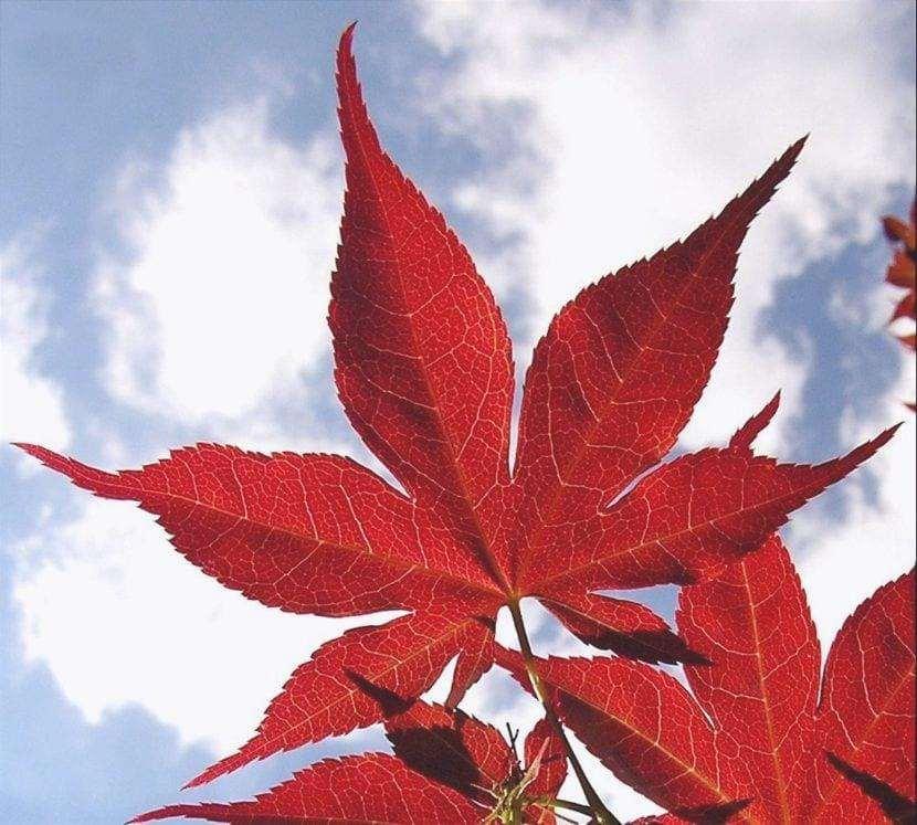 Foglia di Acer palmatum