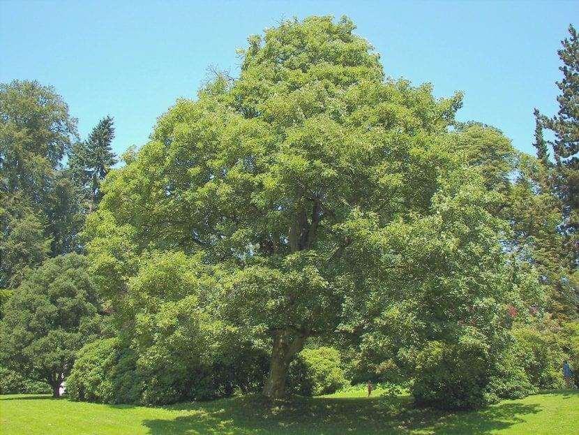 Il falso platano è un albero molto grande