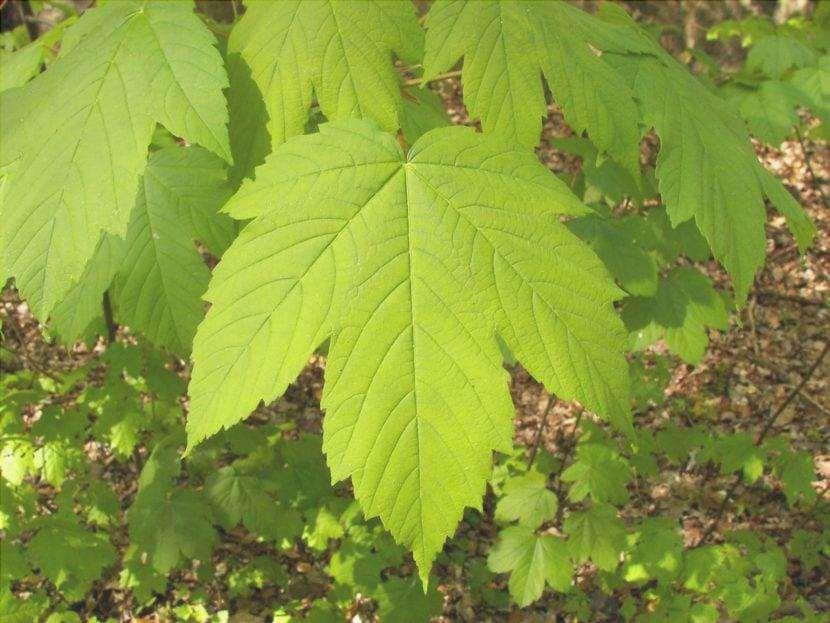 Foglia di Acer pseudoplatanus