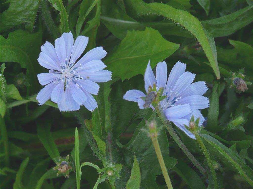 I fiori della cicoria sono blu