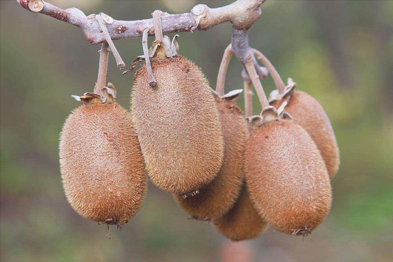 L'Actinidia chinensis è una pianta rampicante.