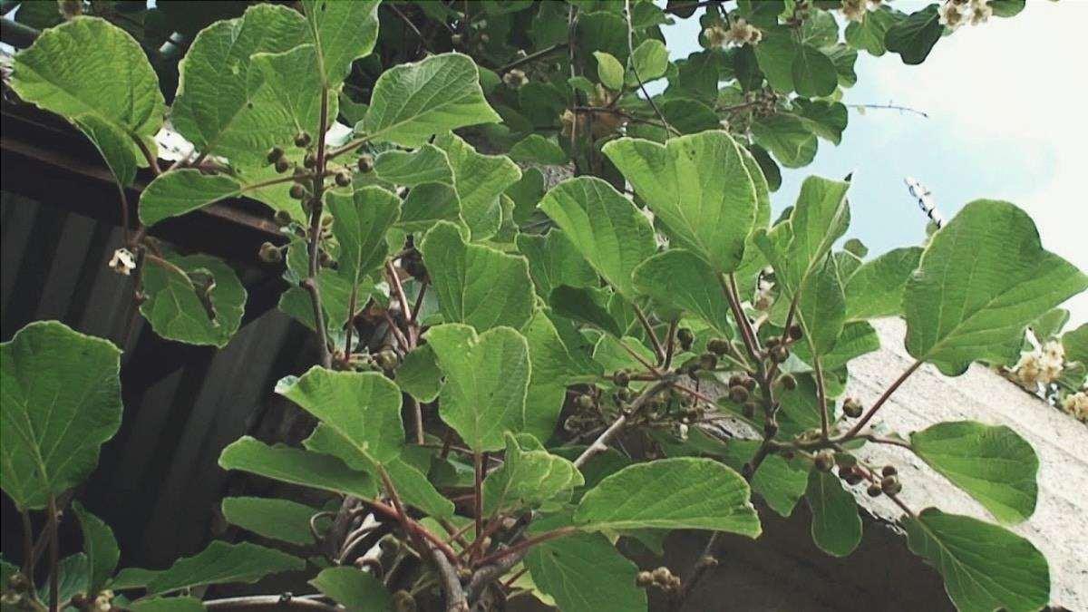 L'Actinidia deliciosa è un rampicante che produce frutti commestibili.