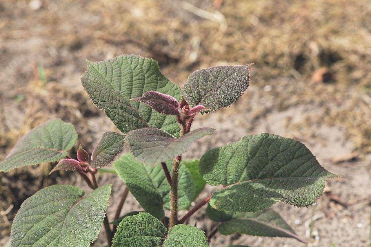 L'actinidia è una pianta rampicante.