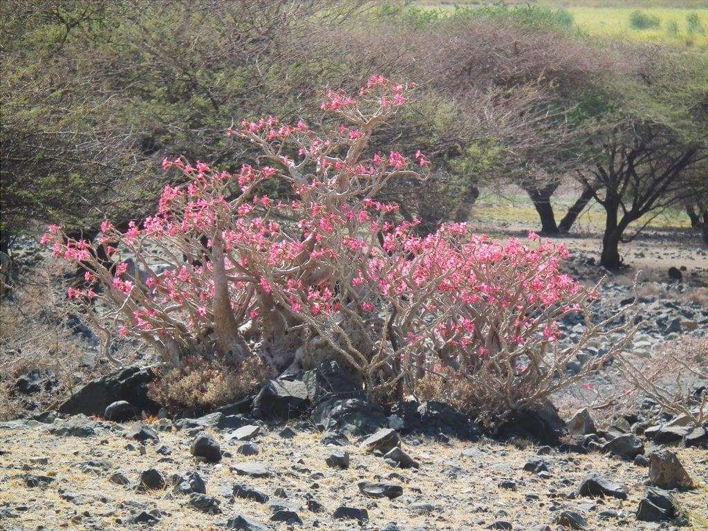 Adenium obesum in Tanzania