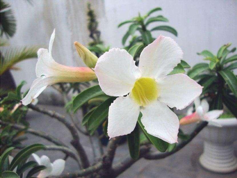 Adenium obesum a fiore bianco