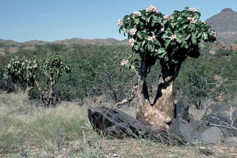 Adenium obesum subsp. boehmianum