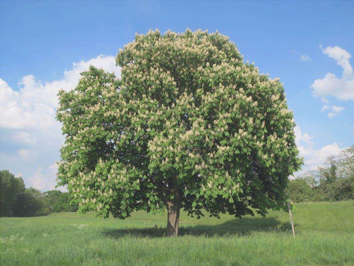 L'ippocastano è un albero deciduo molto alto.