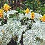 L'afelandra è una pianta tropicale