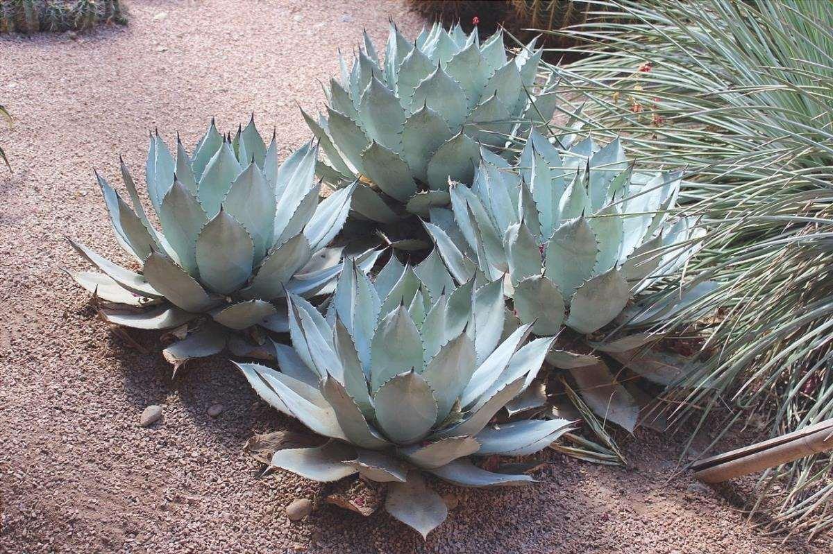 L'Agave è una pianta che vuole molto sole.