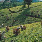 agricultura de plantacion