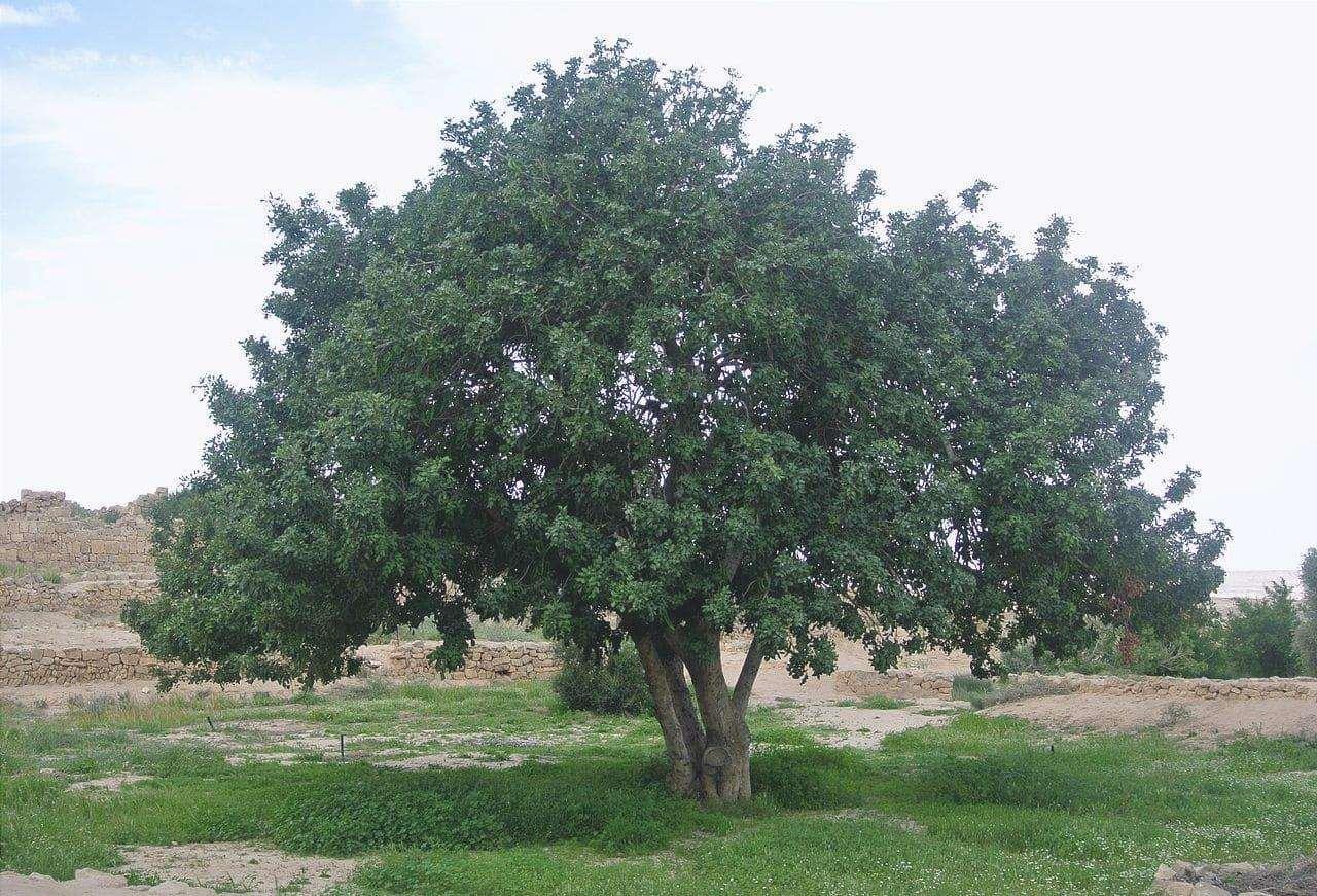 Il carrubo è un albero mediterraneo.