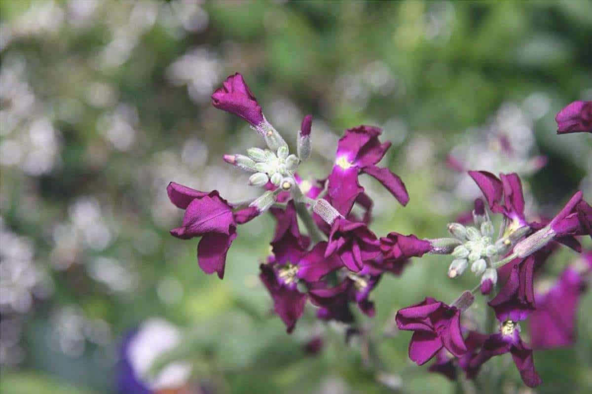 La violacciocca è una pianta che fiorisce alla fine dell'inverno.