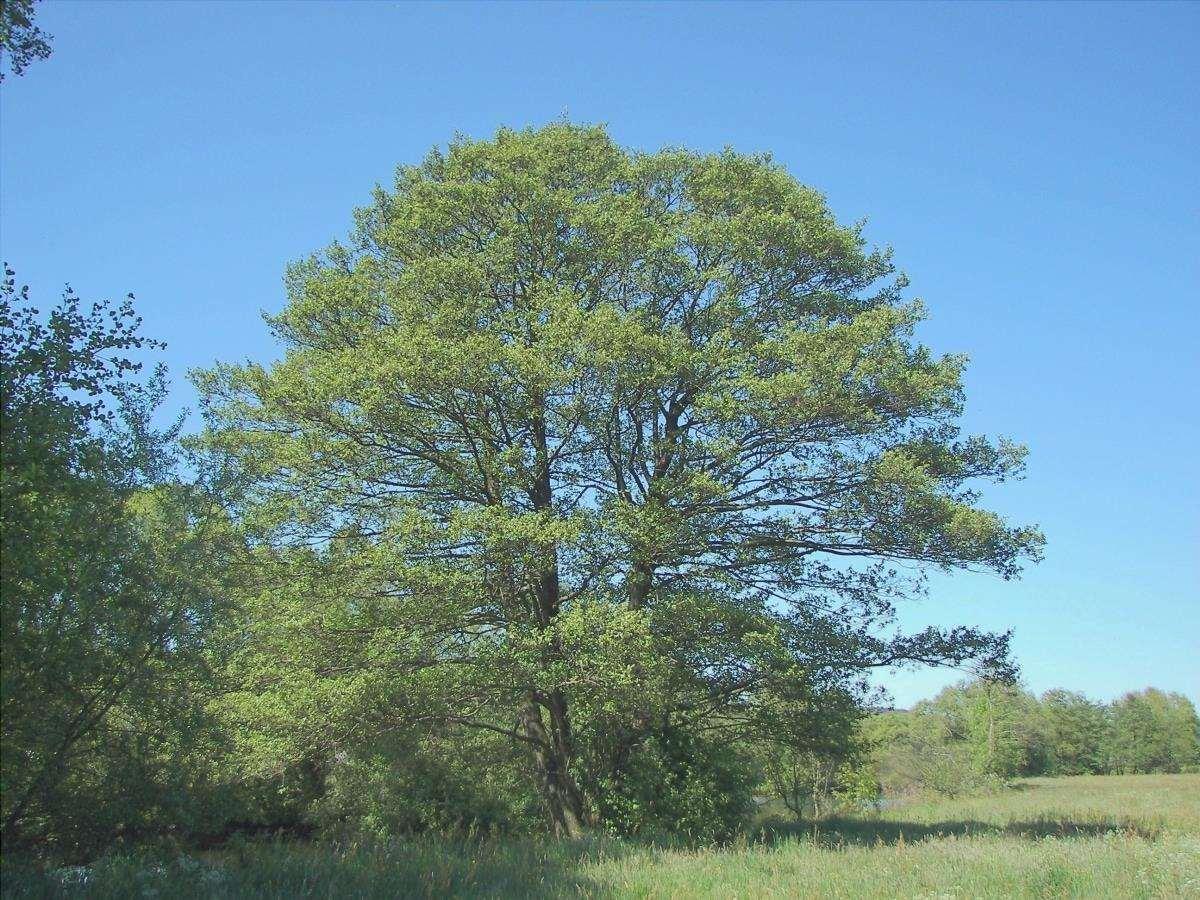 L'ontano è un albero alto per il giardino
