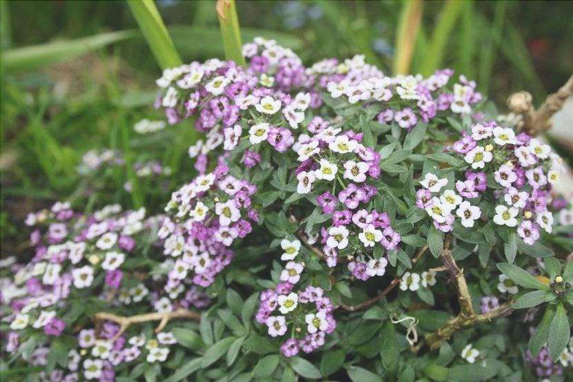 L'Alyssum è una magnifica pianta da giardino.