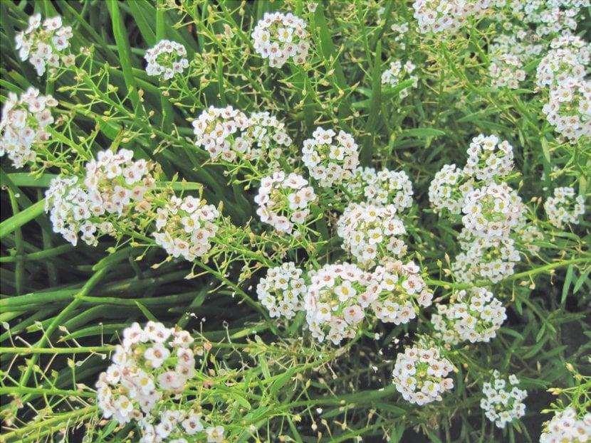 I fiori dell'Alyssum sono molto decorativi.