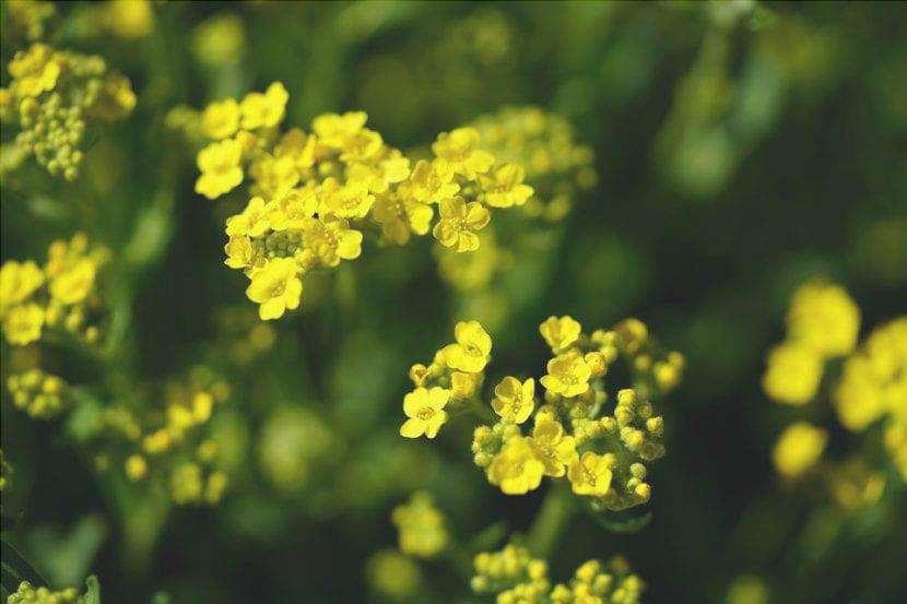 Alyssum montanum è un'erba con fiori gialli.