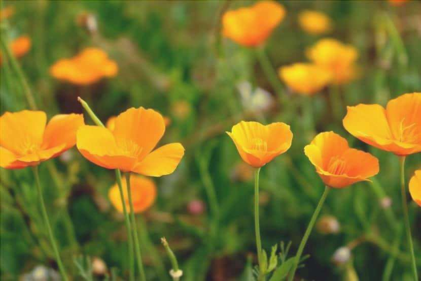 Papaveri californiani in fiore