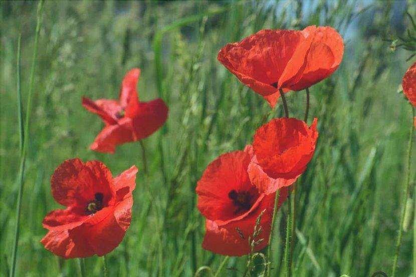 Il papavero è del genere Papaver ed è un fiore selvatico.