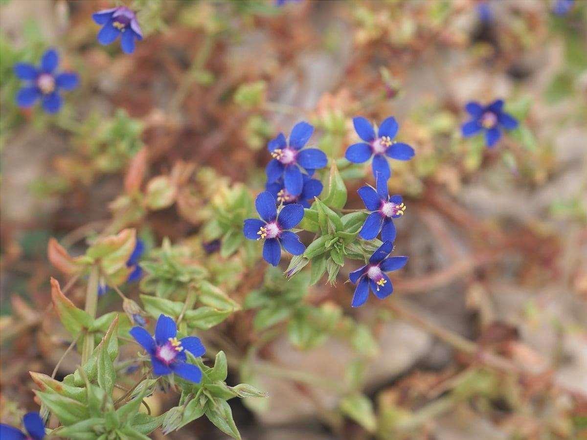 Il murrón è una pianta selvatica con fiori blu.