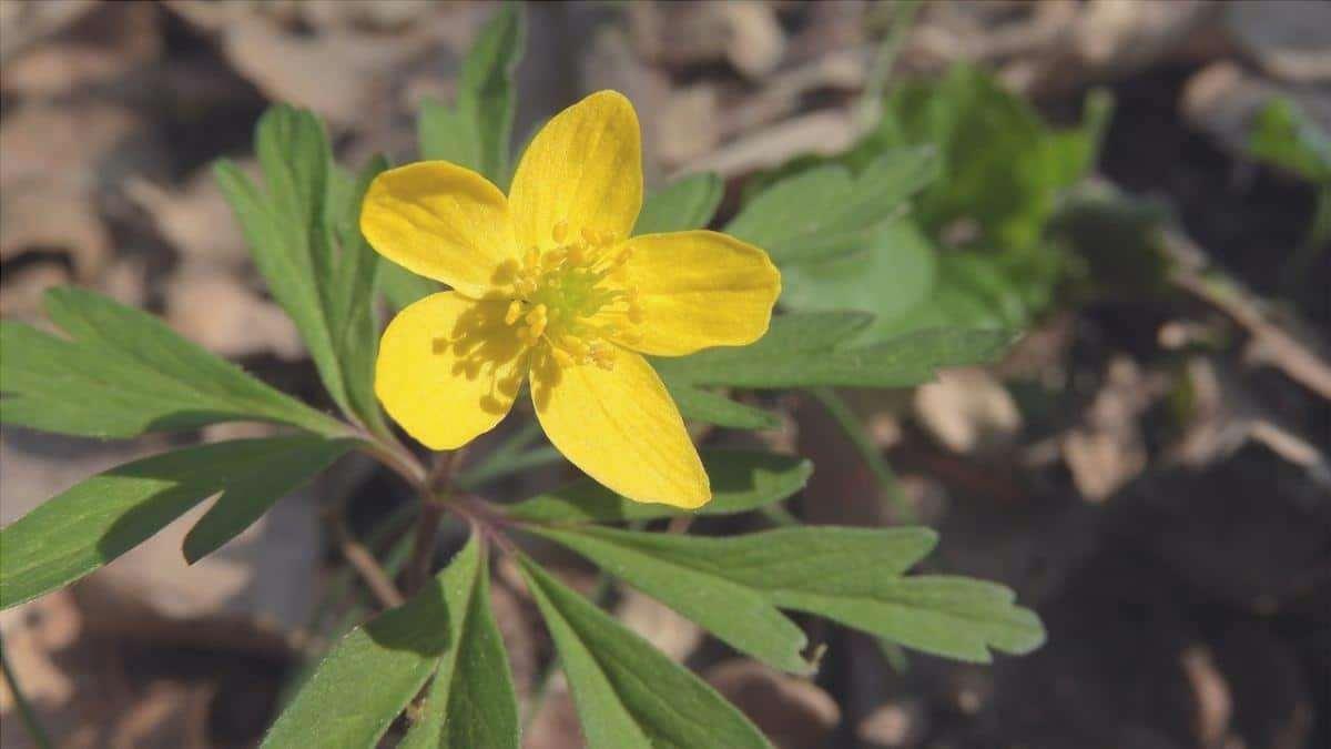 L'anemone giallo è una pianta europea.