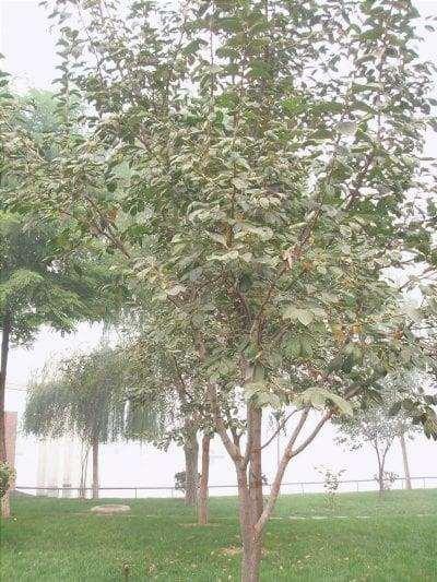 Vista dell'albero di cachi