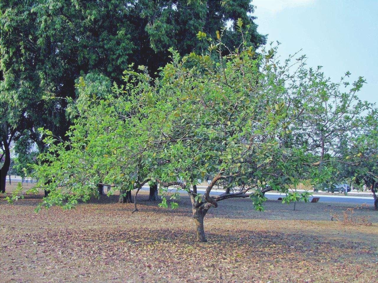 Vista dell'albero di guava