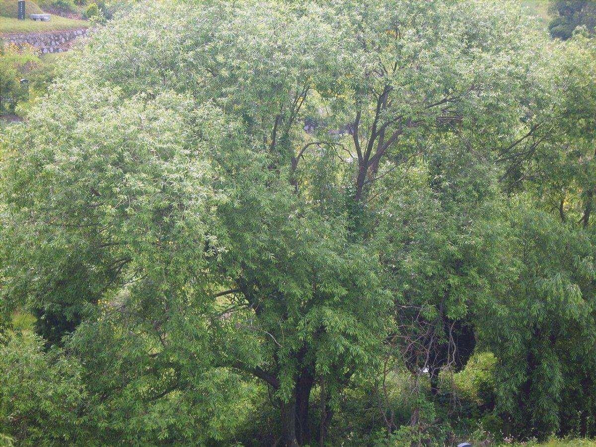 Gli alberi di Salix vogliono molta acqua