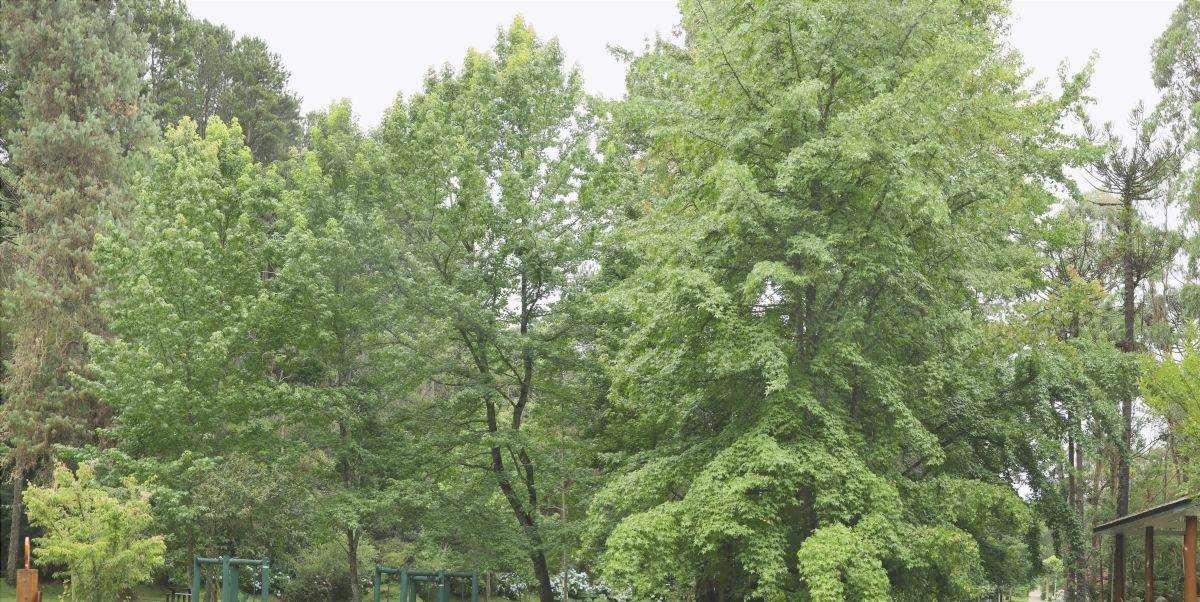 La jacaranda è un bellissimo albero da giardino.