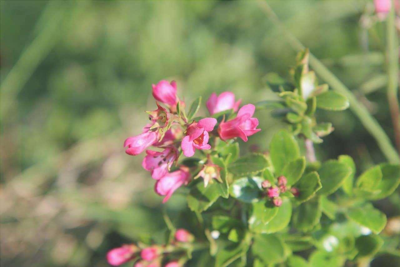 Gli arbusti fioriti sono bellissimi per il giardino o le piante in vaso