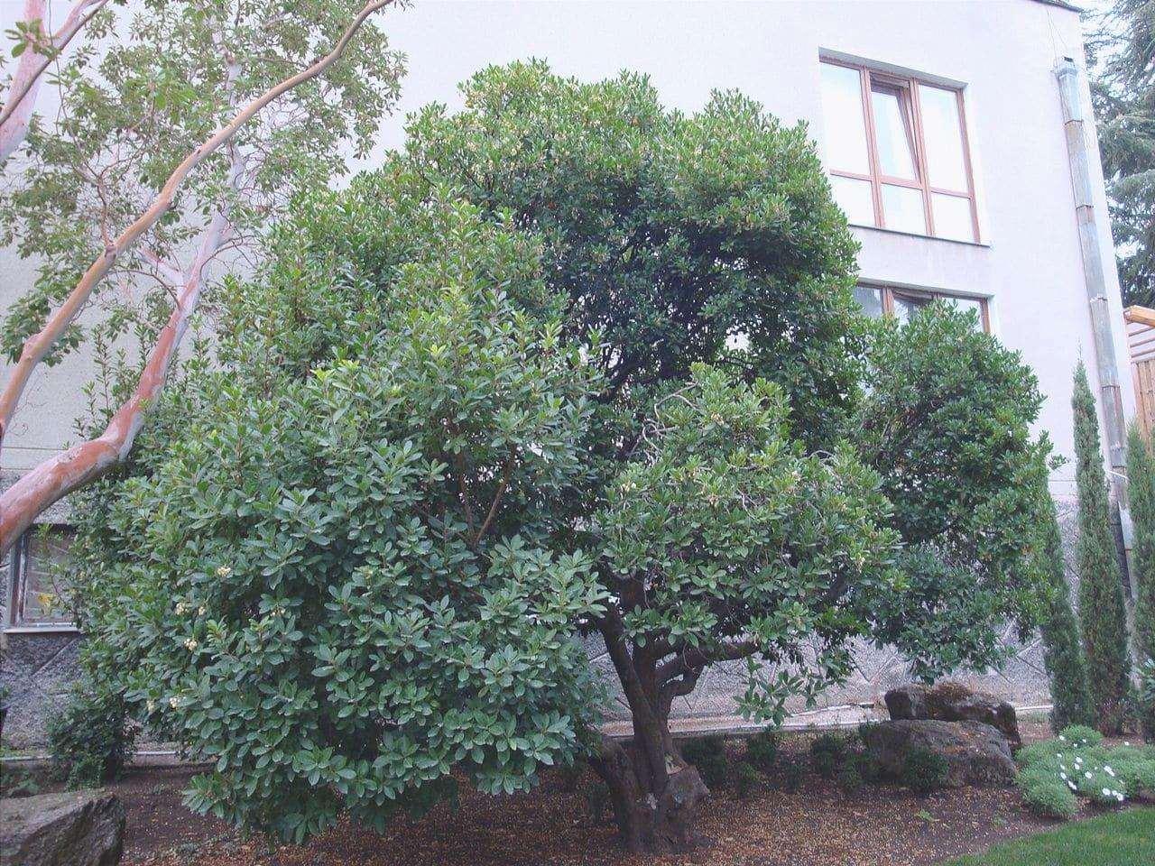 Il corbezzolo è un piccolo albero sempreverde.