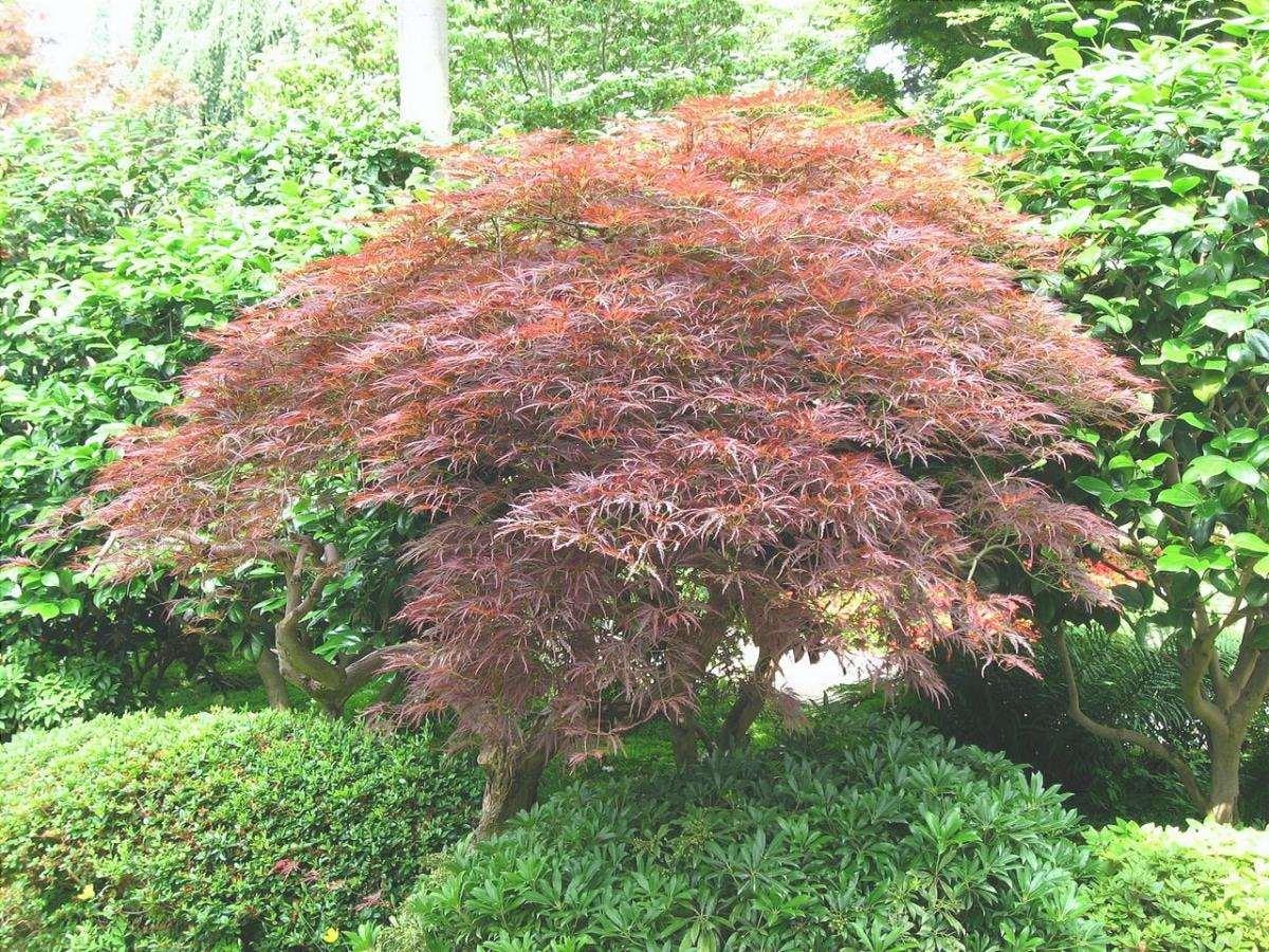 L'acero giapponese è un arbusto deciduo molto ornamentale.