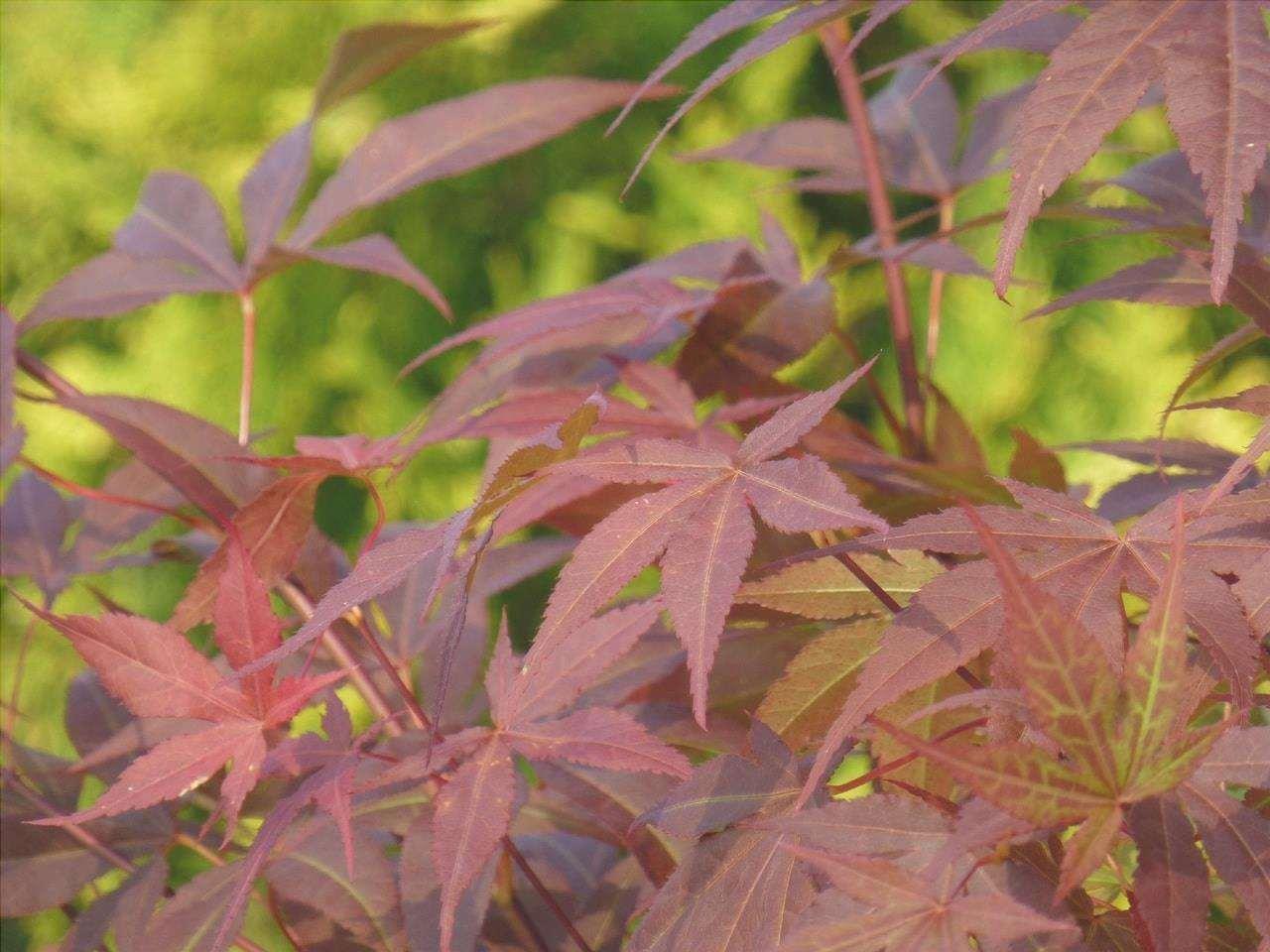 L'acero giapponese è un arbusto deciduo.