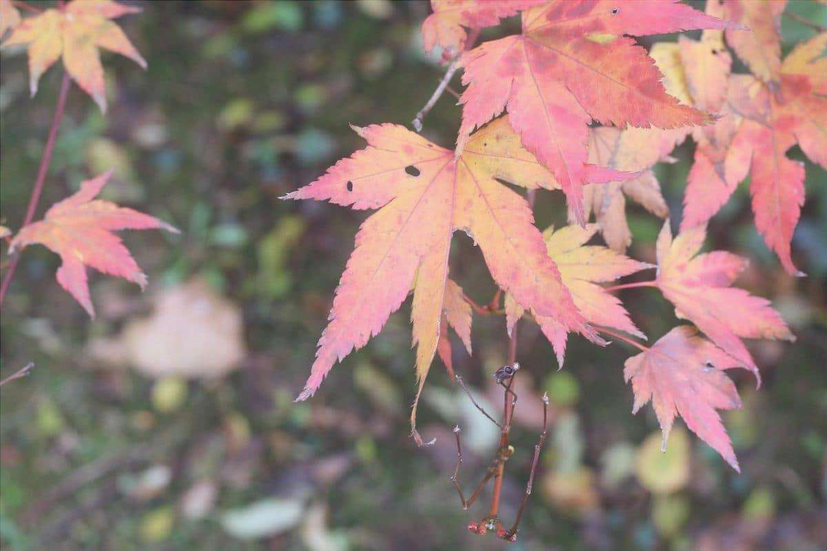 Le foglie di acero giapponese diventano marroni in autunno