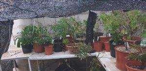 Gli aceri giapponesi possono essere coltivati in vaso