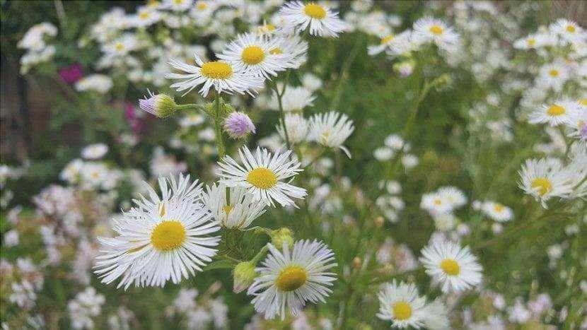 I fiori di aster possono essere viola o bianchi.