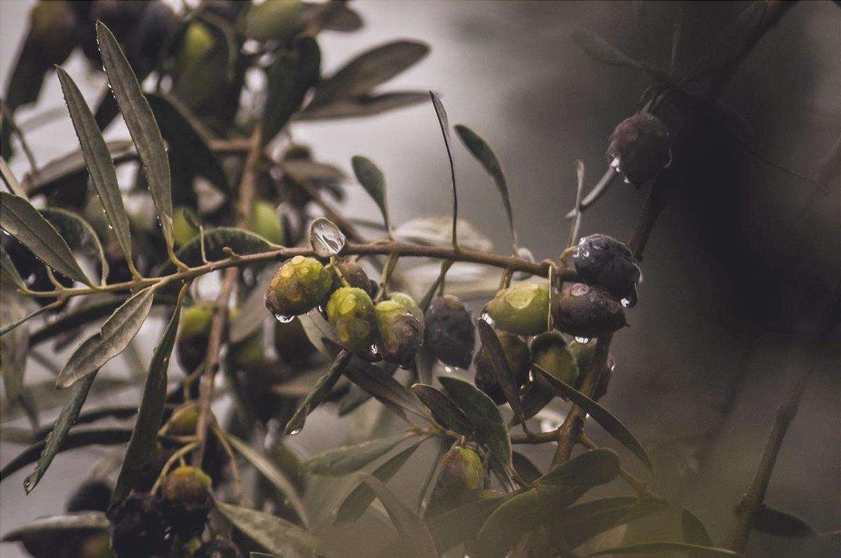 L'auxina è usata per molti processi nella produzione delle colture.