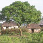 azadirachta indica arbol