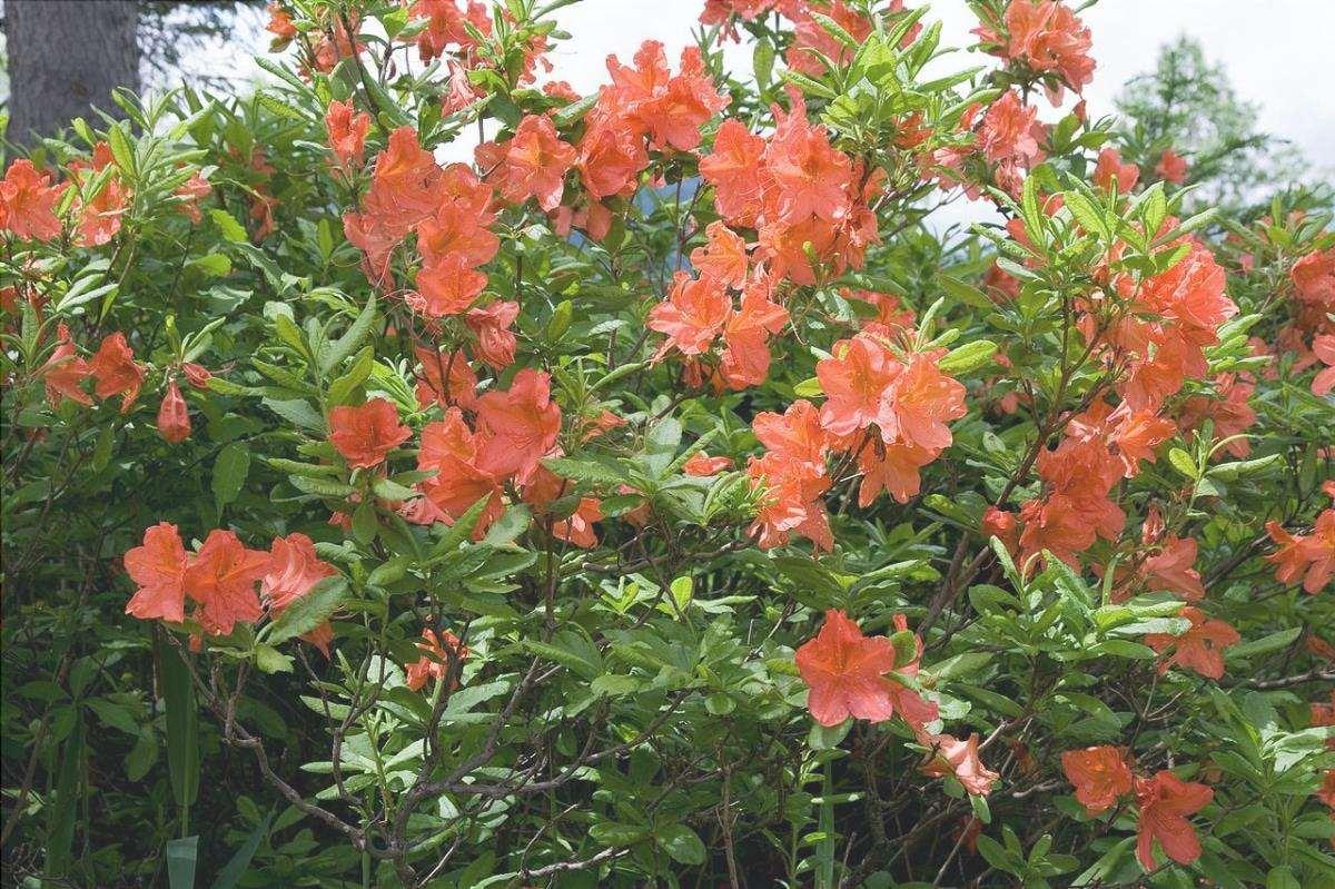 L'azalea giapponese è un arbusto molto fiorifero del Giappone.