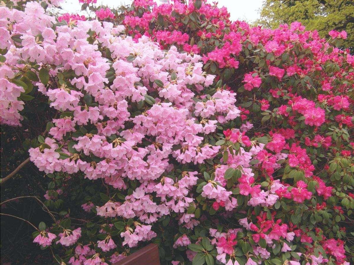 Le azalee sono piante arbustive