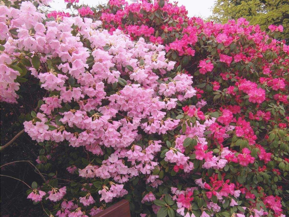 Le azalee sono arbusti che producono fiori molto allegri.