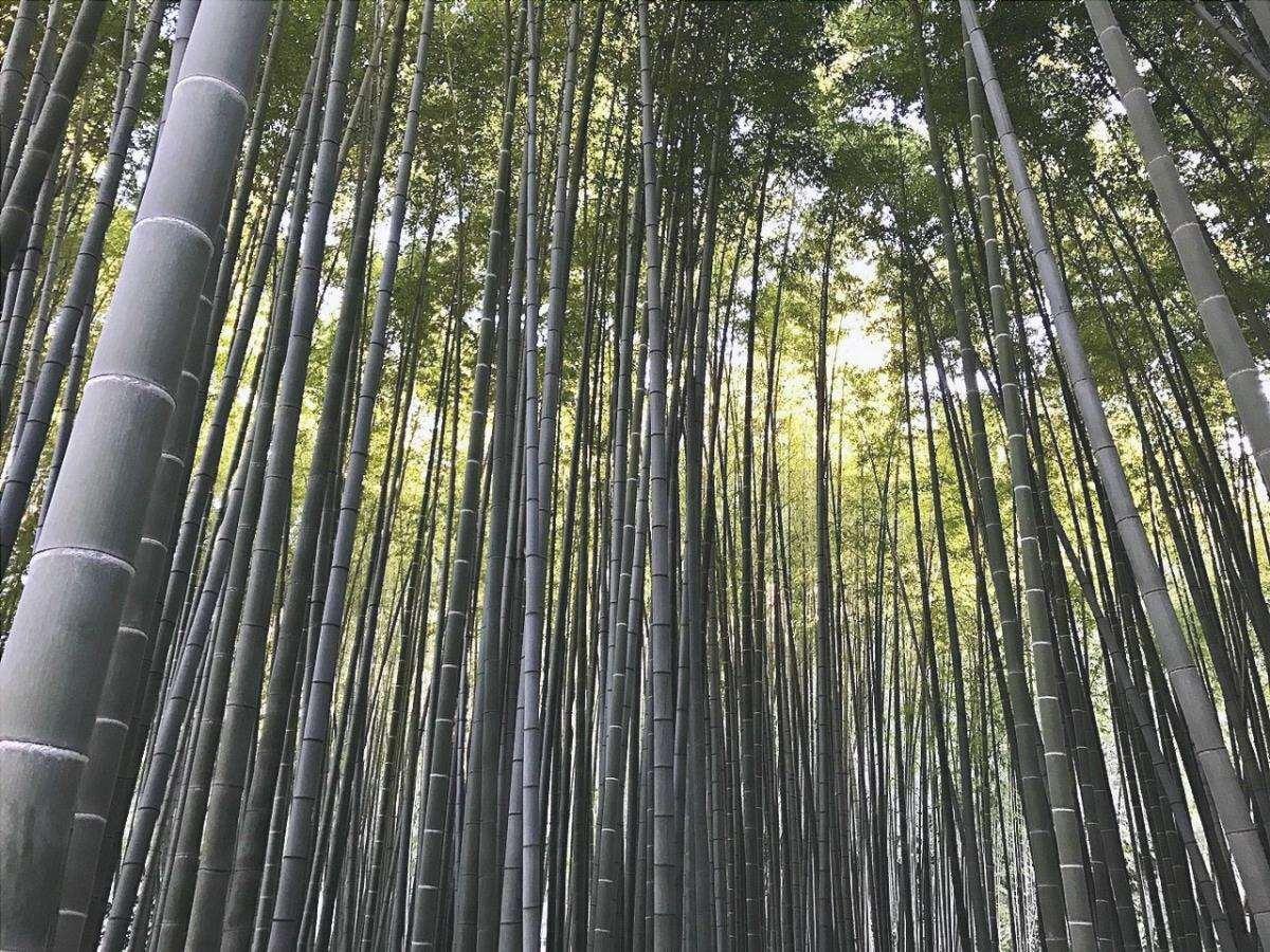 È possibile trovare la foresta di bambù in Giappone