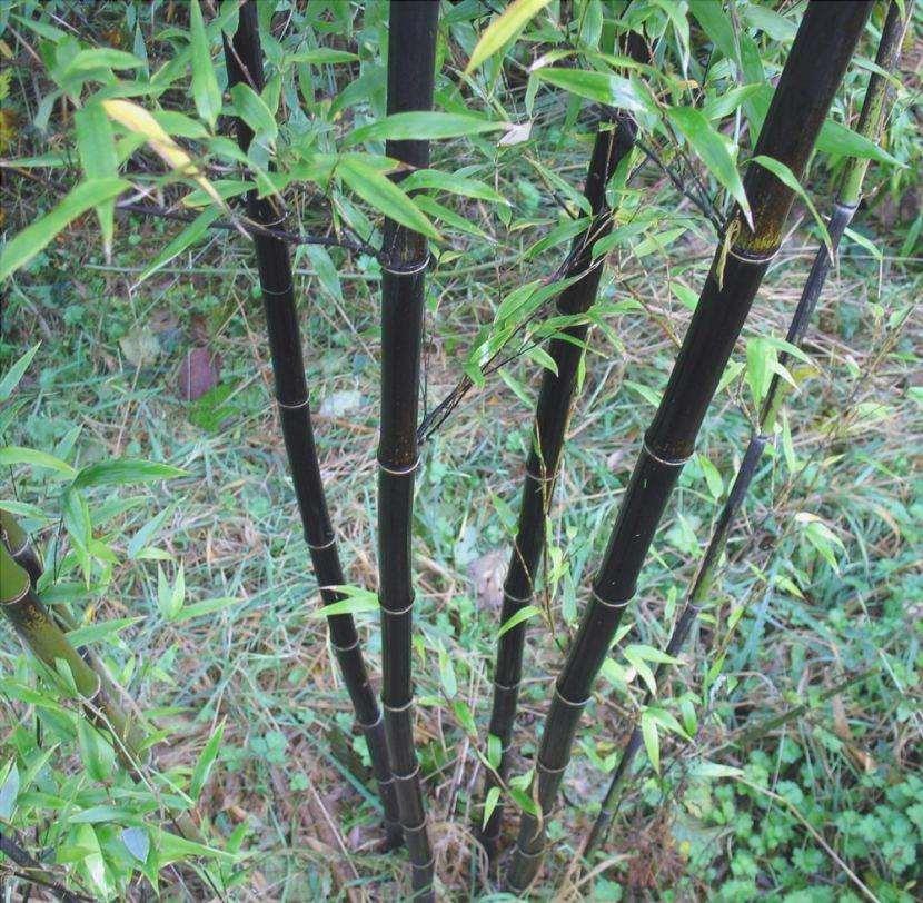 Bambù nero