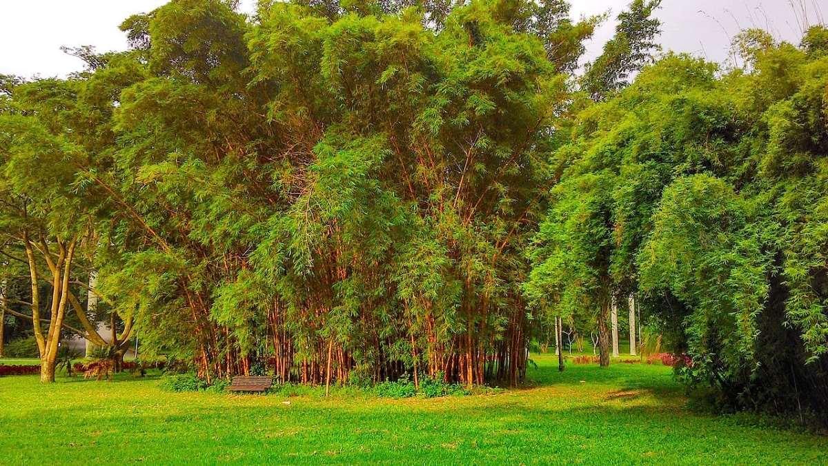 La Bambusa è un bambù facilmente controllabile.