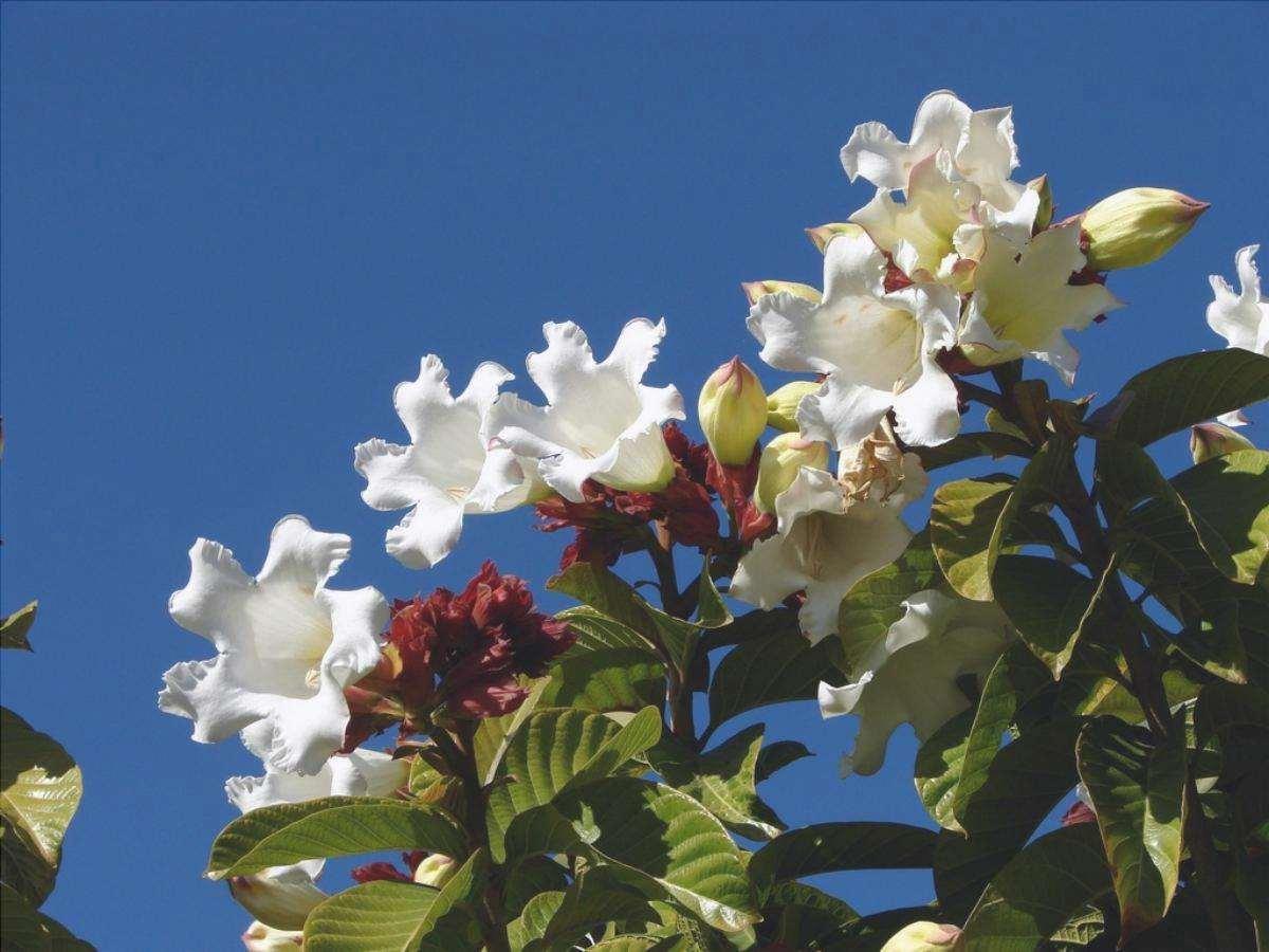 La beaumontia è un bellissimo rampicante da esterno.
